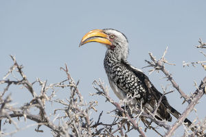 Yellow Hornbill, Tockus leucomelas, perched in a tree, Namibia