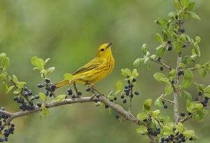 Yellow Warbler (Dendroica petechia), adult male perched on Elbow bush (Forestiera