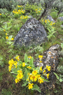 usa/yellowstone national park arrowleaf balsamroot