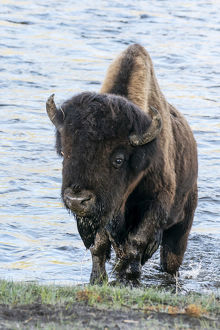 usa/yellowstone national park bison bull emerging