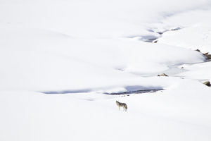 usa/yellowstone national park coyote standing snowy