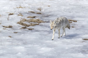 usa/yellowstone national park coyote walking icy