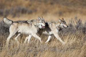 usa/yellowstone national park gray wolves dry grass