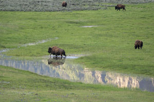 usa/yellowstone national park lamar valley bison