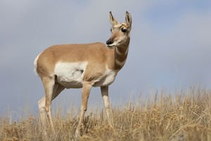 usa/yellowstone national park portrait female pronghorn