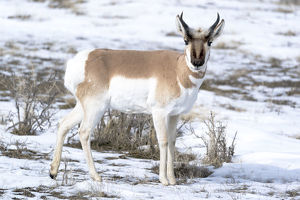 usa/yellowstone national park portrait male pronghorn
