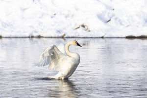 usa/yellowstone national park trumpeter swan flaps