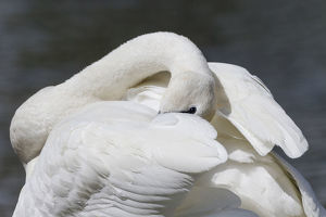 usa/yellowstone national park trumpeter swan preens