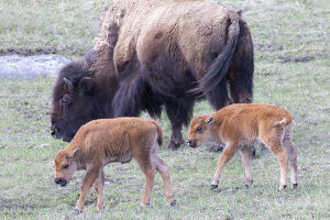 usa/yellowstone national park young bison calves
