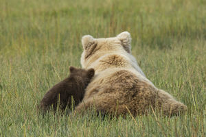 Young coastal grizzly cub (Ursus arctos) leans against its mother while resting in