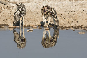 Zebras drink at Okaukuejo waterhole in early morning, with the still waters reflecting